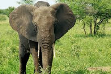 بحجم الفيل!