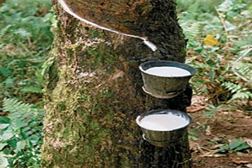 شجرة هيفيا