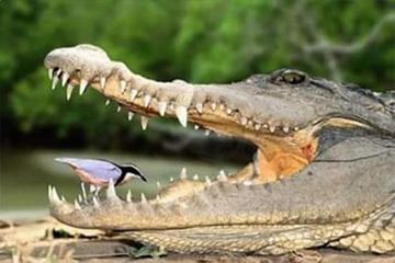 طبيب التمساح