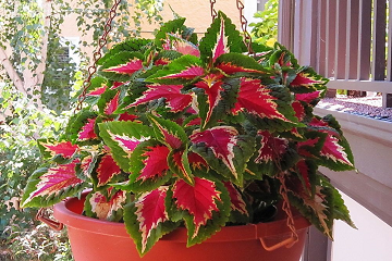 نبات السجاد