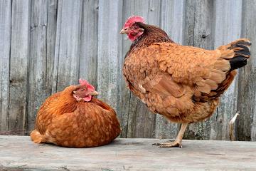 قريباً لغة الدجاج!!